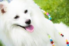 German spitz dog Royalty Free Stock Photo