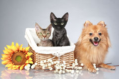German Spitz dog with Devon Rex cats Royalty Free Stock Photography