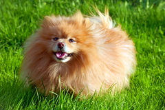 German Spitz dog Stock Photography