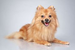 German Spitz dog on a grey background Stock Image
