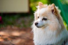 German Spitz dog outdoors portrait. German Spitz dog portrait. Copy space on left stock images