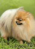 German spitz-dog Stock Photos