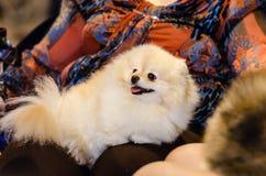 German spitz dog Stock Image