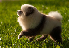 German spitz-dog on walk Royalty Free Stock Image
