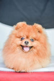 German Spitz face Royalty Free Stock Photos