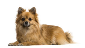 German Spitz Stock Photography