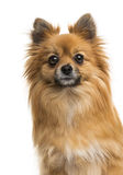 German Spitz Stock Photo