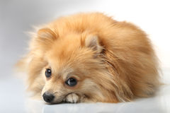 German Spitz lay and looks faithfully Royalty Free Stock Images