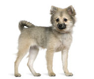 German spitz puppy, 6 months old, standing Royalty Free Stock Photography