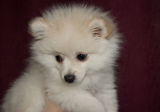 German Spitz puppy . Royalty Free Stock Image