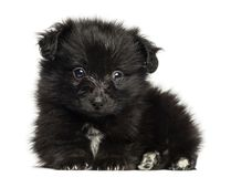German Spitz puppy lying down, looking at the camera, 8 weeks old. Isolated on white stock images