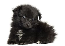 German Spitz puppy lying down, 8 weeks old, isolated stock photo