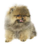 German Spitz puppy Royalty Free Stock Images
