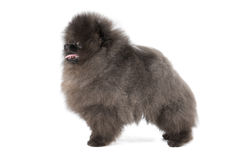 German Spitz puppy Royalty Free Stock Photo