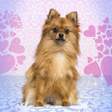 German Spitz sitting, looking at the camera, 1 year old Royalty Free Stock Photography