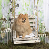 German spitz sitting Royalty Free Stock Images