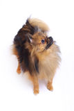 German Spitz standing and looking Royalty Free Stock Photos