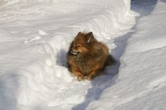 German Spitz on the street in winter sneaks. Through the snow drifts, a portrait of a beautiful dog Stock Image