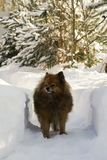 German Spitz on the street in winter sneaks. Through the snow drifts, a portrait of a beautiful dog Stock Photography