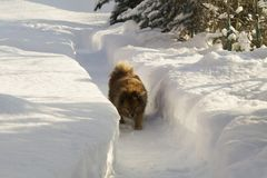German Spitz on the street in winter sneaks. Through the snow drifts, a portrait of a beautiful dog Stock Photo