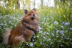 German Spitz at sunset in the summer Royalty Free Stock Images