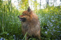 German Spitz at sunset in the summer stock images