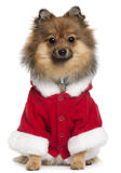 German Spitz wearing Santa outfit, 8 months old Stock Photo