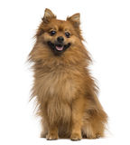 German Spitz (2 years old) Royalty Free Stock Photo