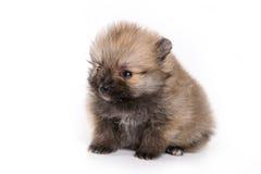 German Spitz Zwerg puppy. On white background royalty free stock photos