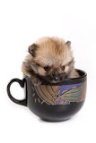 German Spitz Zwerg puppy. In cup Royalty Free Stock Images