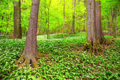 German Spring Forest Royalty Free Stock Image