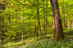 German Spring Forest Royalty Free Stock Images