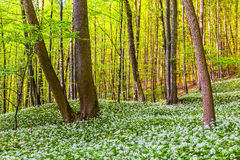 German Spring Forest Royalty Free Stock Photos