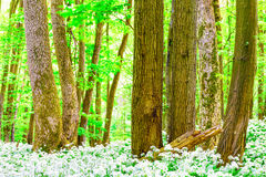 German Spring Forest Royalty Free Stock Photography