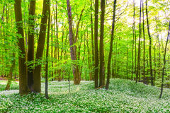 German Spring Forest Stock Photography