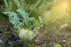 German turnip or turnip cabbage Stock Photography