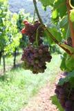 German Vineyard. Near Maulbronn monastery Stock Photo