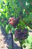 German Vineyard. Near Maulbronn monastery Stock Image