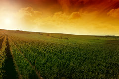 A german vineyard near the rhe Stock Photography