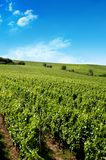 A german vineyard near the rhe Royalty Free Stock Photography