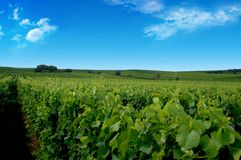 A german vineyard near the rhe Stock Photo