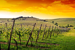 German vineyard near the rhein river royalty free stock image