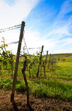 German vineyard near the rhein river Royalty Free Stock Photos