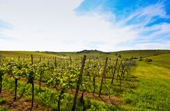 German vineyard near the rhein river Stock Photos