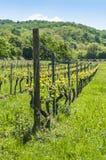 German vineyard in springtime Stock Image