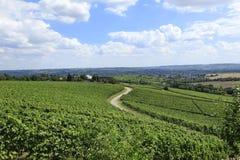 German Vineyards. German Grape Vines in Rhineland Germany stock photo