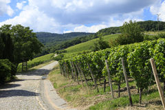 German Vineyards. On the Rhine River Valley Stock Images
