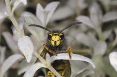 German wasp closeup portrait. German wasp macro closeup portrait Royalty Free Stock Photography