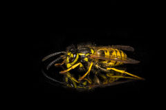 German Wasp MACRO. Brightly coloured Wasp on a black background, side on view stock photo