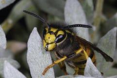 German wasp macro closeup. Portrait Stock Photography